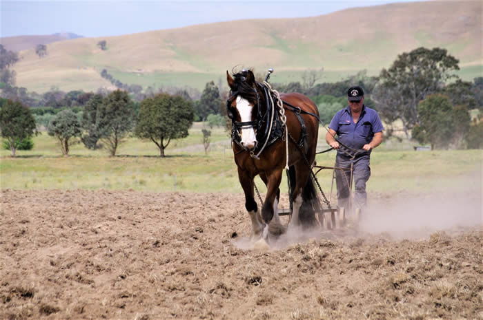 Heritage Draught Horse Club working the soil